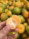 南投珍珠柑 (1)