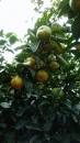 南投珍珠柑 (2)