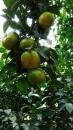 珍珠柑 (1)