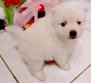 日本狐狸犬 ( Japanese Spitz )