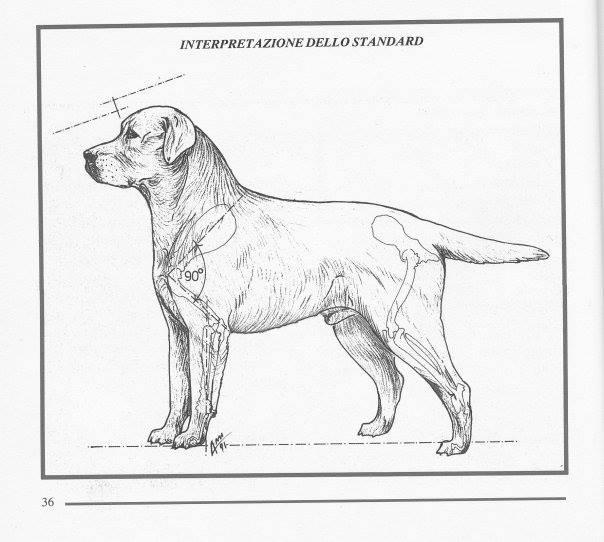 標準犬隻10