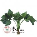 玉芳山芹菜