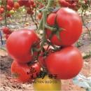 一代交配 紅寶石牛蕃茄