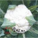 一代交配 NO.58白花菜