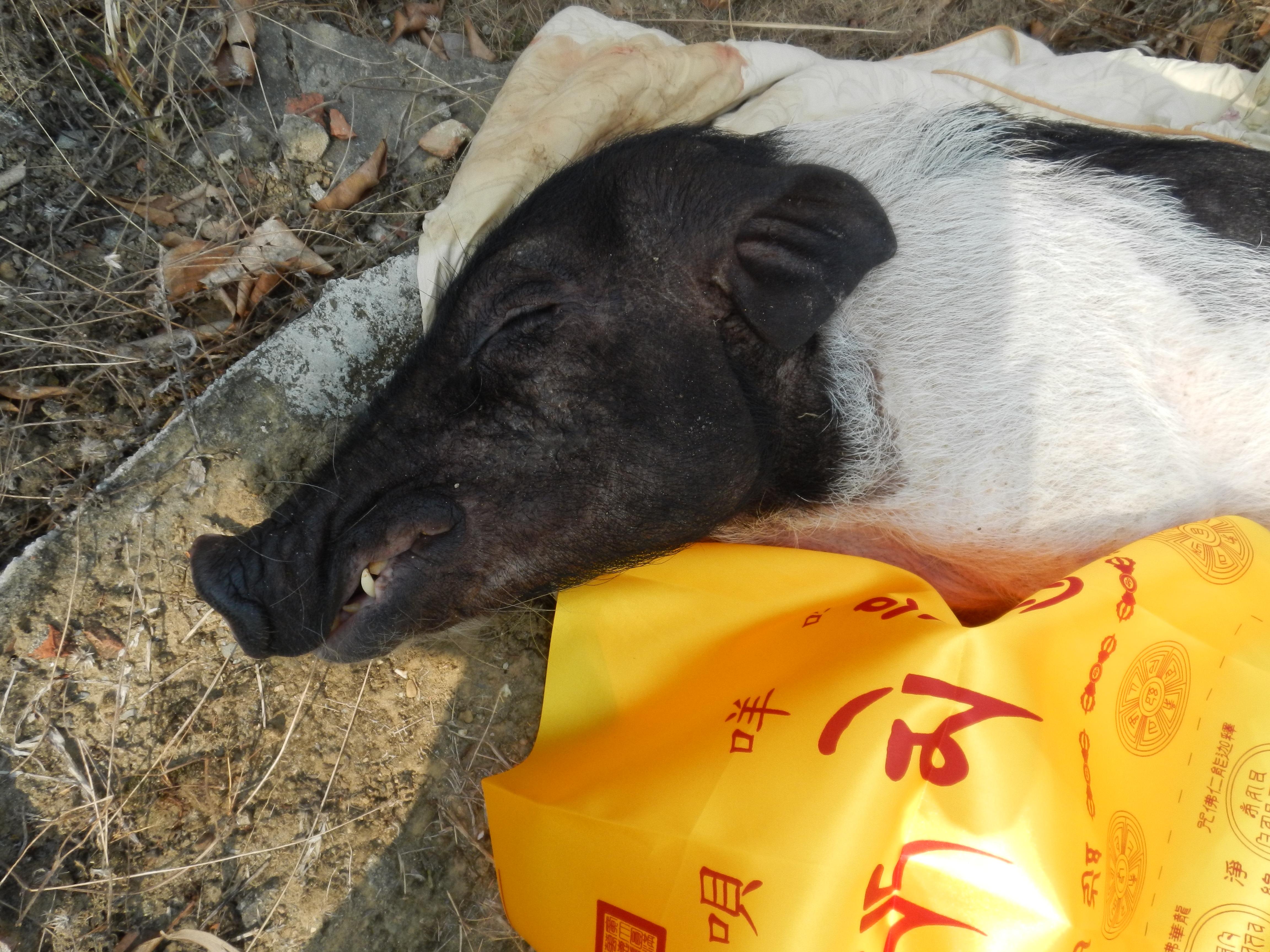 麝香豬寵物人道處理